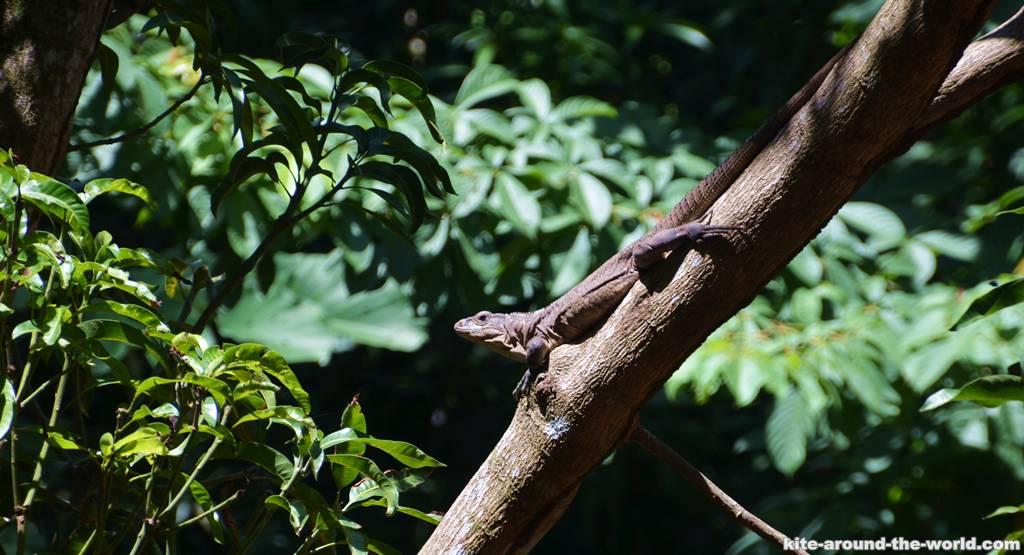 14.8 Iguana