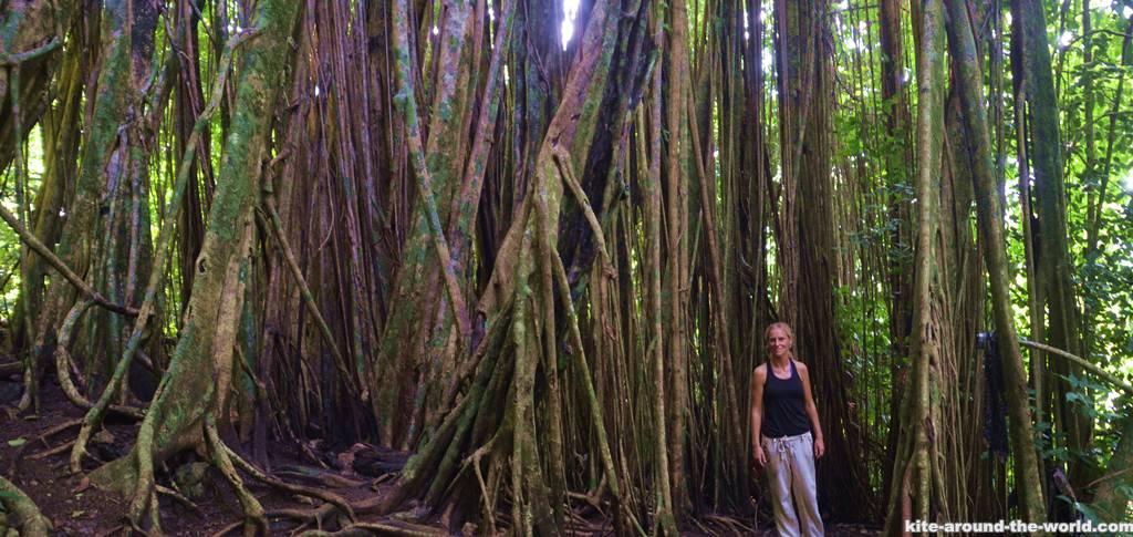 Dschungel Matapalo